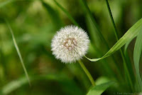 Dandelion Photos and Pictures 18