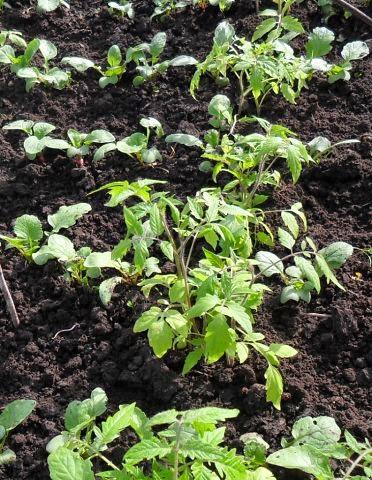 29.05 Излишки помидоров высажены на грядку редиски