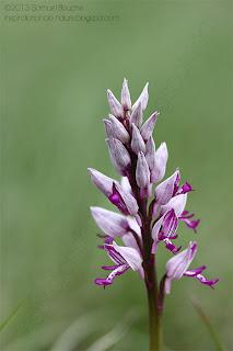Photo orchis macro orchidée sauvage et orchis militaire ou guerrier fleur nature