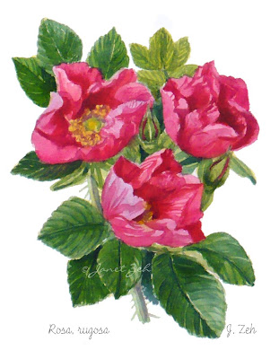Rosa rugosa roses watercolor print