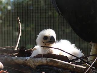 Filhote de gavião real tem plumagem branca, mas deve ficar com a mesma cor dos pais quando chegar à idade adulta (Foto: Antonio Luiz / Divulgação)