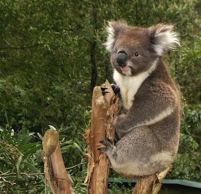 gambar koala