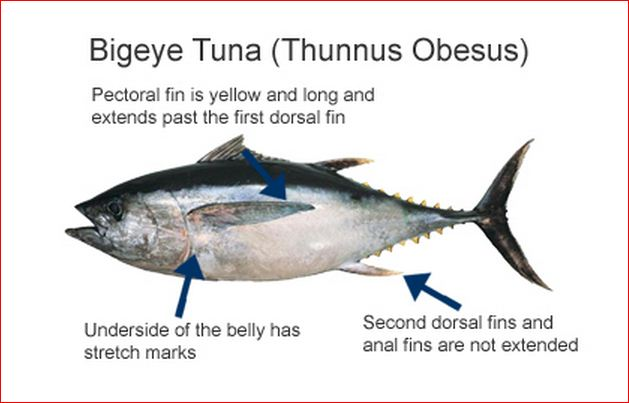 Different types of tuna