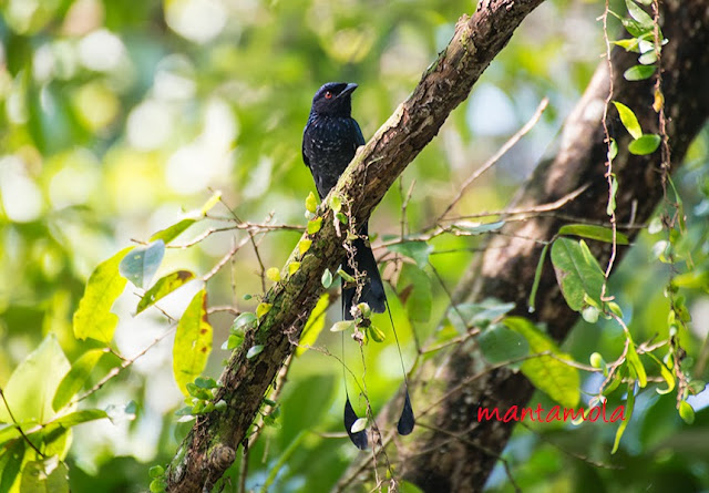 Greater Racket-Tailed Drongo(Dicrurus paradiseus)