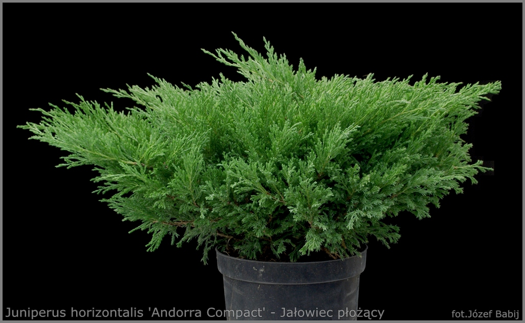 Juniperus horizontalis 'Andorra Compact' - Jałowiec płożący 'Andorra Compact'