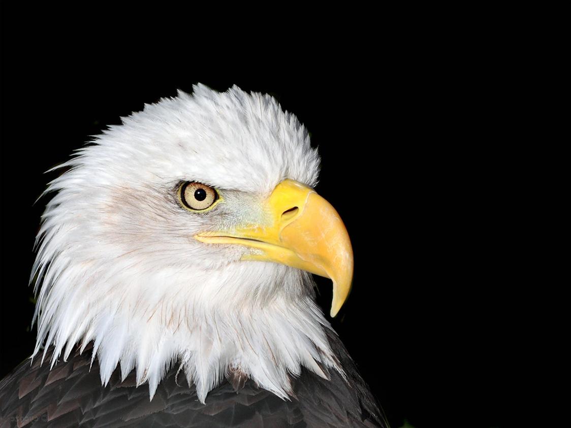 http://4.bp.blogspot.com/-SNDdnpfs3KY/TlZ14quZeNI/AAAAAAAA24Y/ogiwm4J1lTI/s1600/Bald_Eagle_Wallpaper.jpg