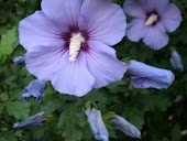 Rose of Sharon--Periwinkle