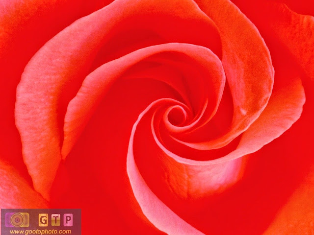 صورة زوم لورد احمر وردة جوري حمراء