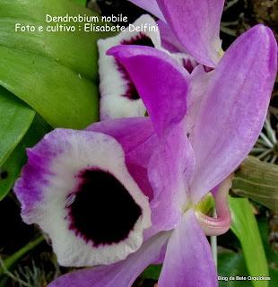 Orquidea Olho de Boneca, Callista nobilis, Dendrobium formosanum,Dendrobium coerulescens, Dendrobium lindleyanum,