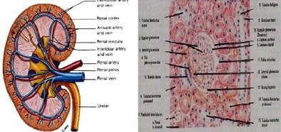 Struktur Ginjal dan Histologis Ginjal