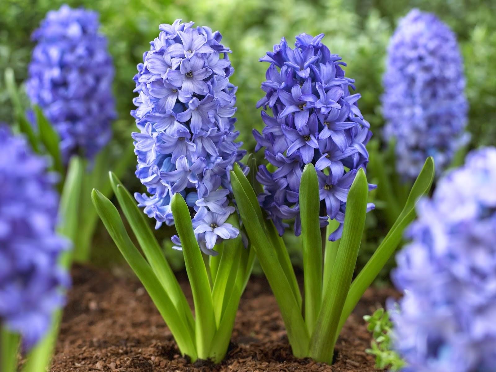 Cu ndo desenterrar y c mo cuidar los bulbos guia de jardin for Como cuidar el pasto de mi jardin