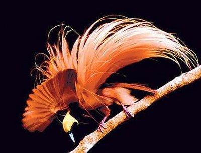 foto burung cendrawasih - gambar hewan - foto burung cendrawasih