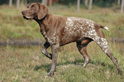 The dog in world: Information about Hunting Dogs
