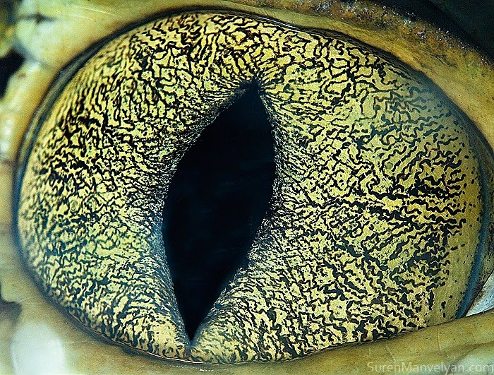 This is the eye of a caiman.