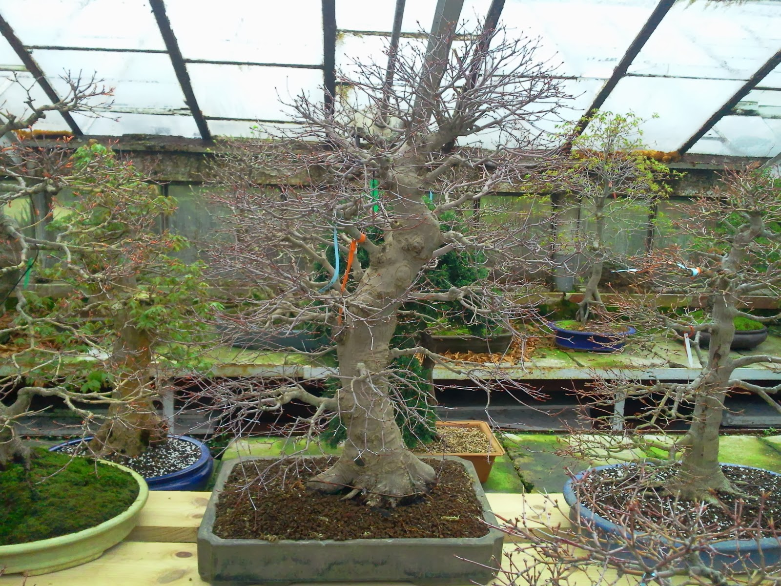 Walter Pall Bonsai Adventures Japanese Maple 15