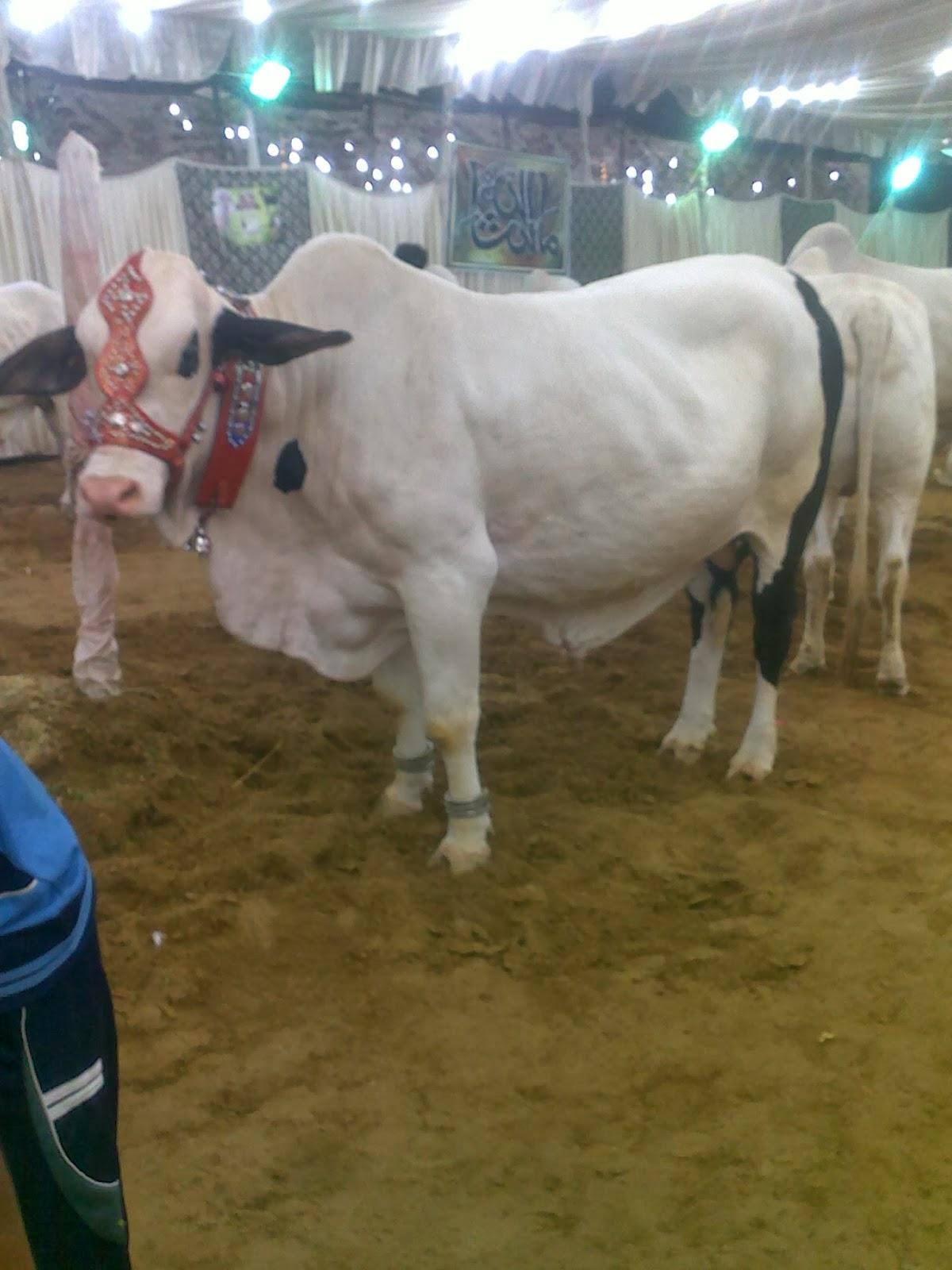 Cow Mandi 2014