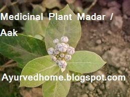 Urinary diseases cure with madar plant, testicle problems treatment with madar plant, hemorrhoids diseases cure with madar plant, aaka ka paudha se bawaseer ko theek karna, andkosh ki beemari, mutraghaat ko theek karna,