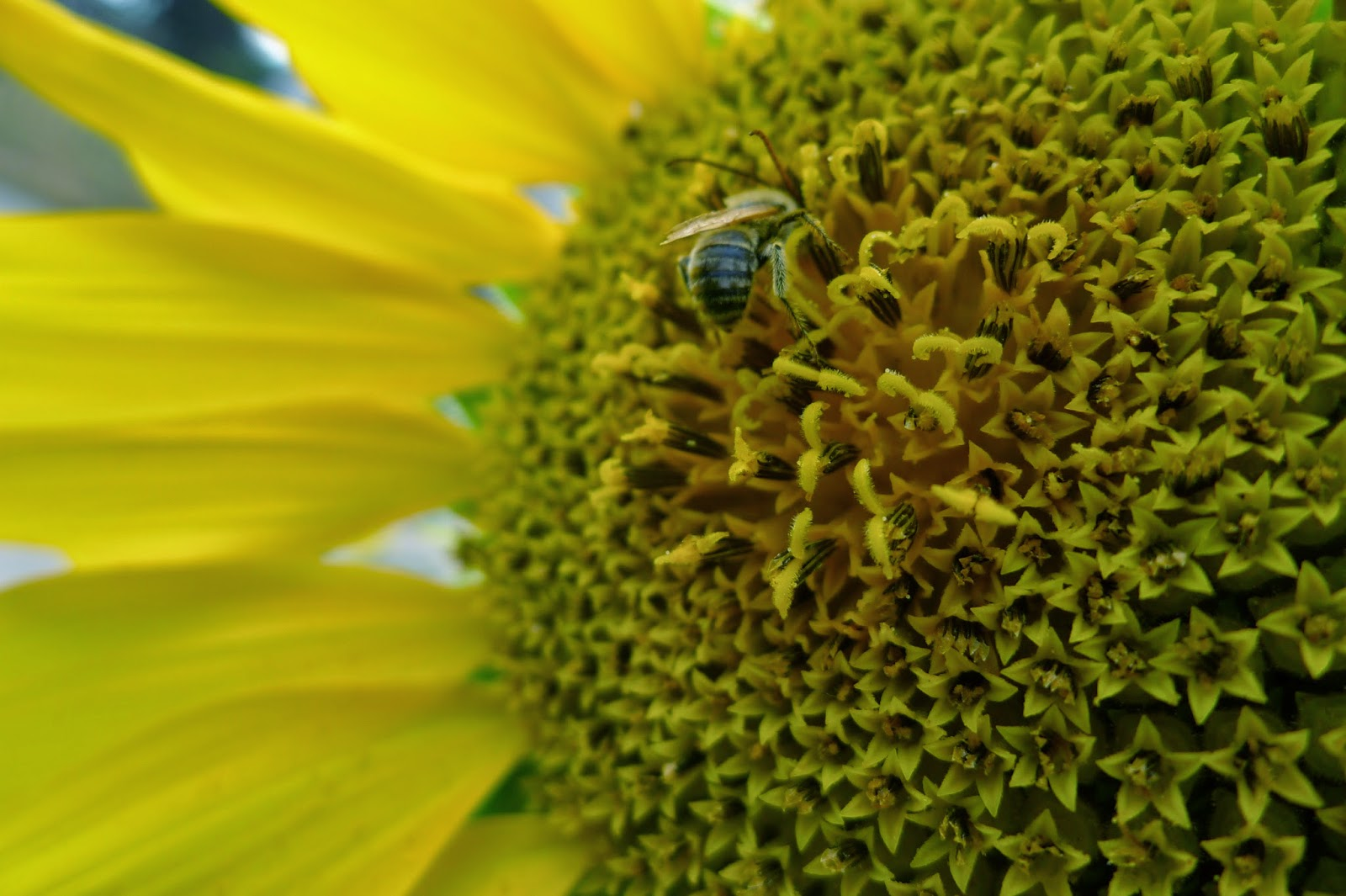Long-horned Bee on Sunseed Sunflower, gardening, pollinators, urban farming