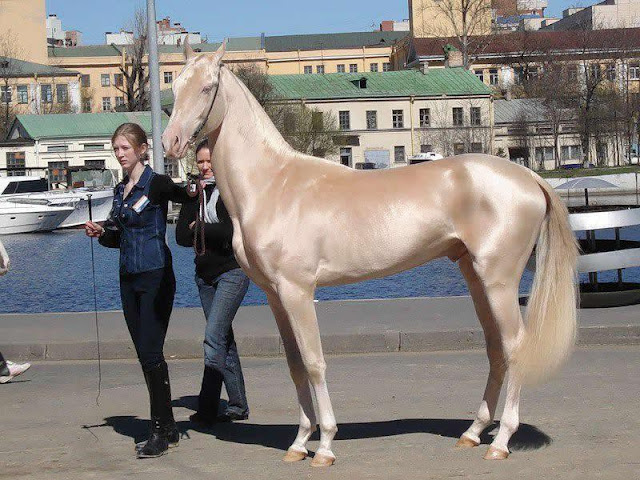 The Akhal Teke horses of Turkmenistan