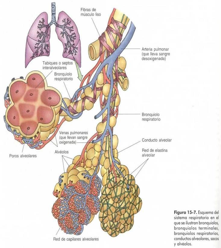 Integración Biomedicas I: Sistema Respiratorio