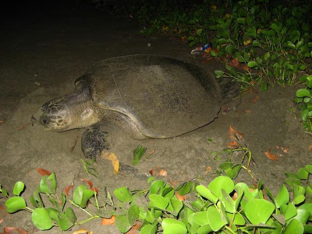 Turtle Nesting at Kalipur Beach, Andamans