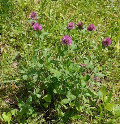 Red Clover (Trifolium Pratense) Overview, Health Benefits, Side effects