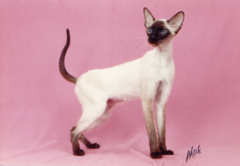 cat, Cats, pet, pets, Siamese Cats,