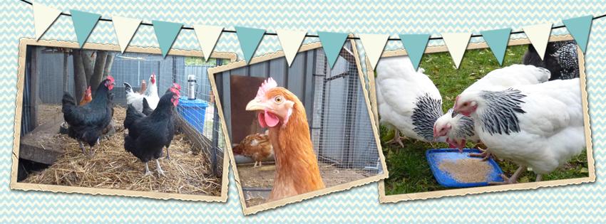 Suburban Backyard Chickens : Start To Grow Blessings of Suburban Backyard Chicken Keepers