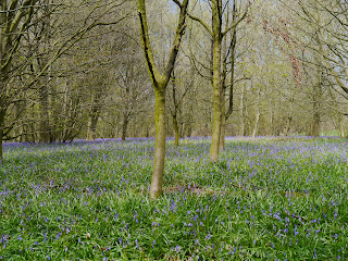 Bluebell woods at Ripley just north of Harrogate