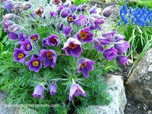 Purple pasqueflower-Anemone pulsatilla-Easter flower