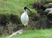 Ibis blanco australiano.