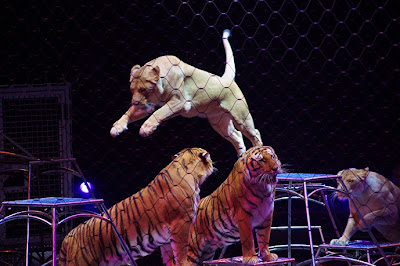 Lion jumping over two tigers