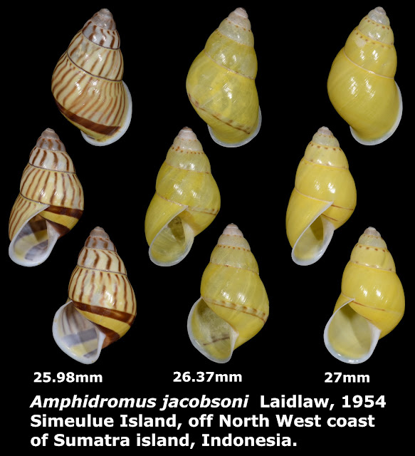 Amphidromus jacobsoni 25.98 to 27.0mm