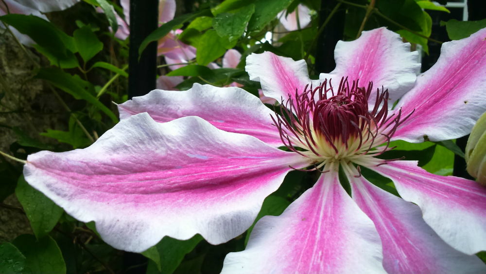 Huge pink and white flower