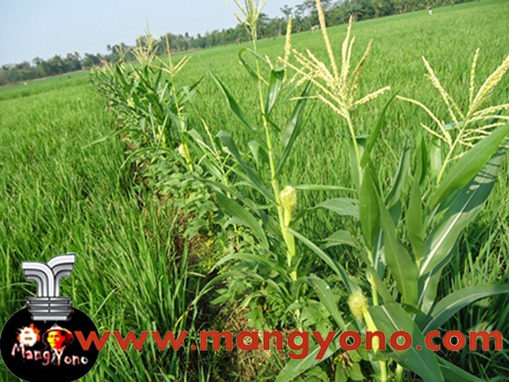 Tumpang sari tanaman jagung dengan padi dan kacang tunggak di sawah. Poto jepretan  Admin pada hari minggu