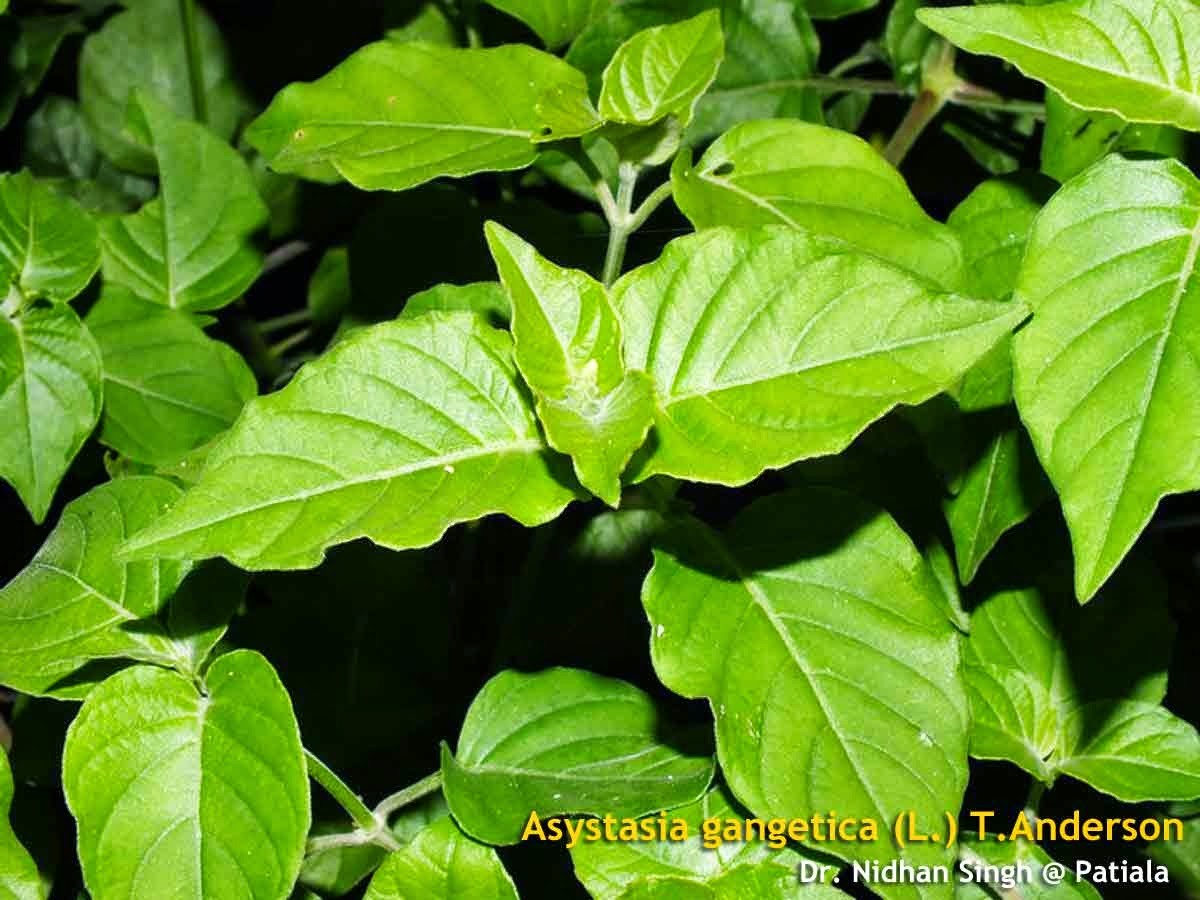 Kratom Tea Health Benefits