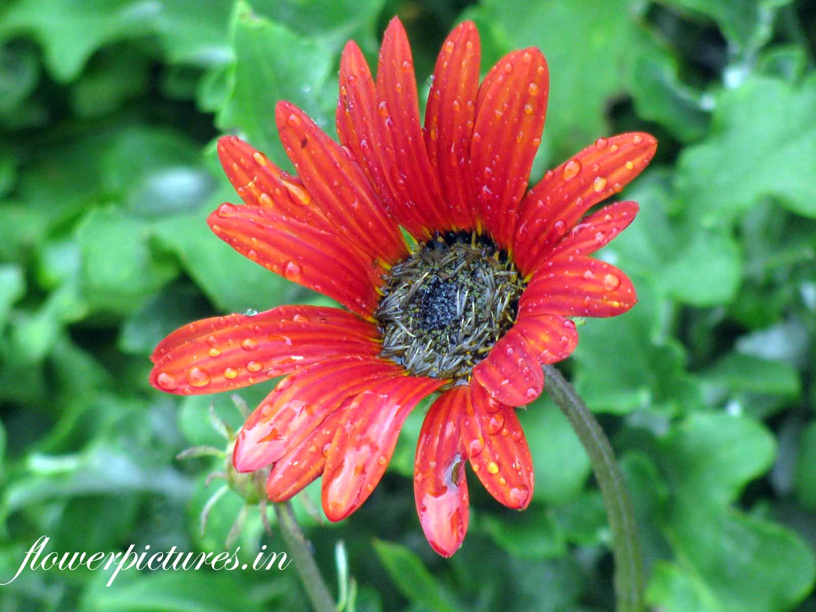 red daisy flower before blooming  flowers pictures  indian flowers, Natural flower