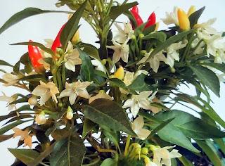 Piri Piri Blüten