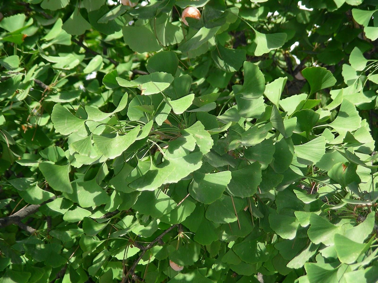 Rboles de madrid el gato por las ramas ginkgo de la for Viveros de arboles en madrid