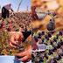 يستخدم الفلسطينيون القنابل المسيلة للدموع لزرع مئات من الزهور كنوع من المقاومة السلمية