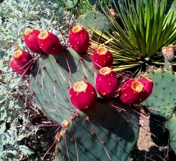 The phytochemicals tests in nopal cactus extract showed that it contains 17 kinds of amino acids.