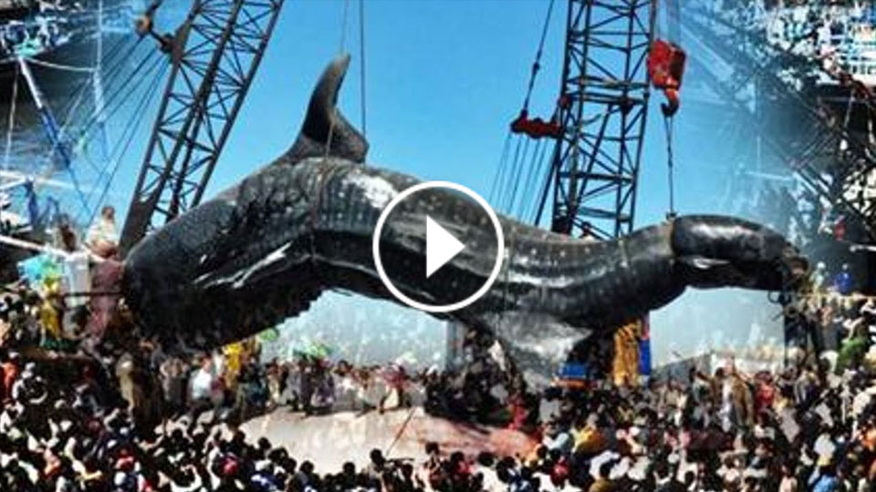 biggest shark in the world ever caught on video www