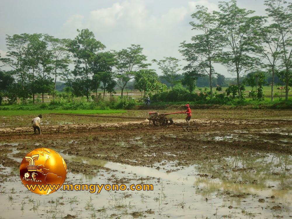 FOTO : Membajak sawah dengan menggunakan traktor.