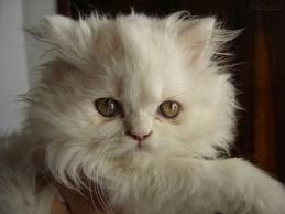 gatito de angora bebe