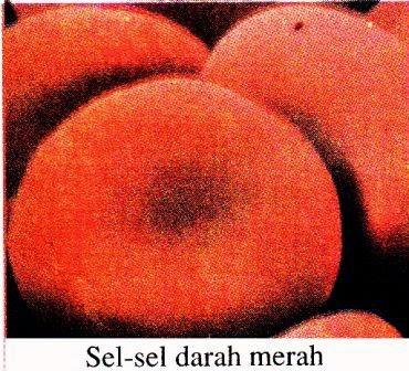Bagian-Bagian Sel Darah dan Fungsinya