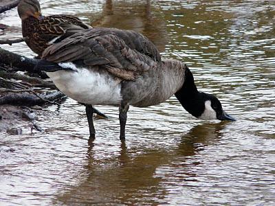 Lesser? Canada Goose, Calderstones Park