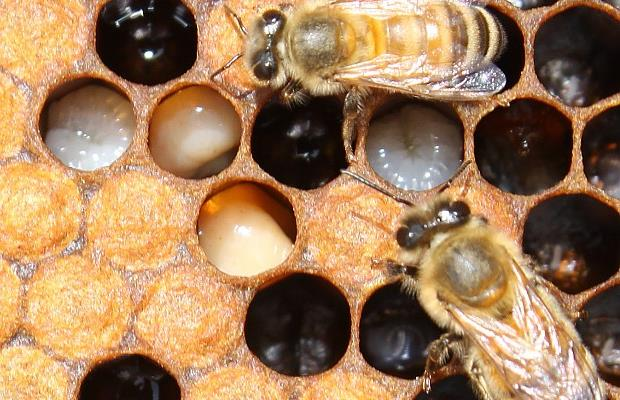 http://lafamiliapicola.blogspot.com/2015/09/desaparicion-de-abejas-en-africa.html