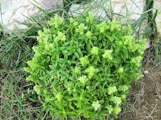 Βασιλικός-Ocimum basilicum
