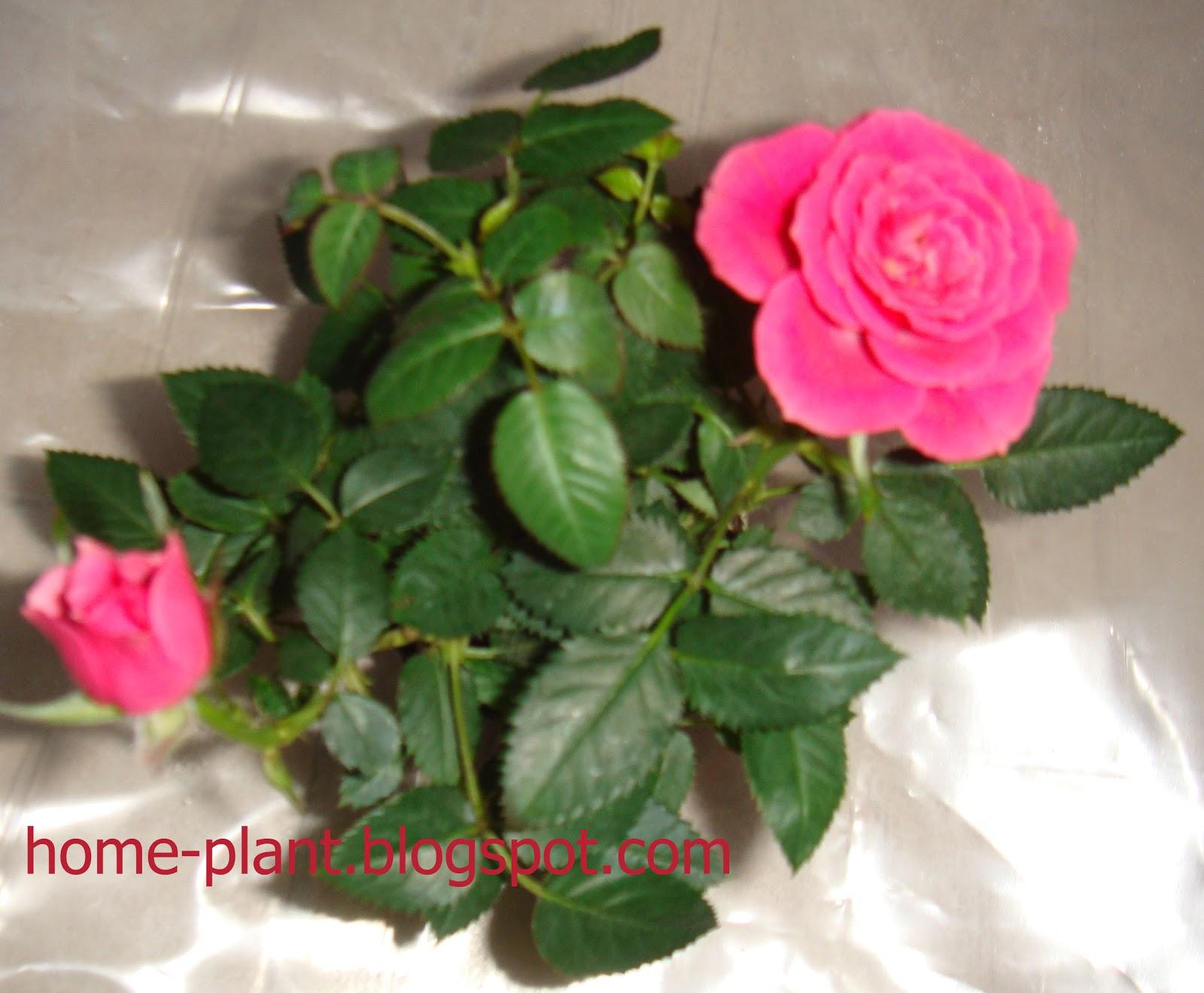 Комнатная роза уход в домашних условиях фото сохнут