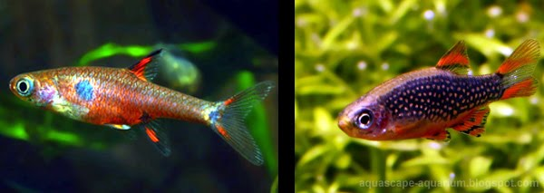 Freshwater Tropical Fish Rasbora Photo